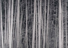 Aspens, by Don Abelson, © The Estate of Don Abelson