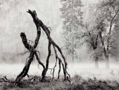 Walking Trees, El Capitan Meadow, Yosemite Valley 1984 by Ray McSavaney, © Ray McSavaney Archive